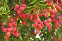 Les litchis, fruits exotiques très recherchés issus de La Réunion