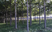 Le Paulownia, un arbre plébiscité pour ses atouts écologiques